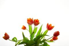 Oranje/rode tulpen Stock Afbeelding