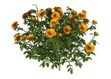 Oranje Rose Bush op Wit Stock Fotografie
