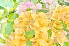 Oranje Roze Bougainvillea Royalty-vrije Stock Afbeelding