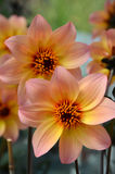 Oranje roze dahliabloemen Stock Fotografie
