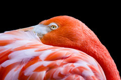 Oranje-roze Flamingo Royalty-vrije Stock Afbeelding