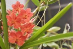 Oranje roze orchidee Stock Fotografie