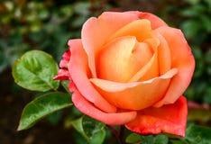 Oranje-rozeachtig nam bloemen in de lente toe Stock Afbeeldingen