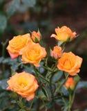 oranje rozen Stock Fotografie