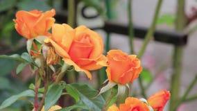 Oranje rozen in de wind stock footage