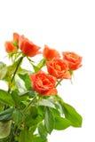 Oranje rozen die op wit worden geïsoleerd Stock Fotografie