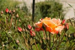 Oranje rozen in een de zomerdag Stock Afbeelding