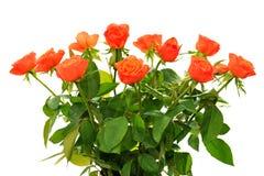 Oranje rozen op wit Stock Afbeelding