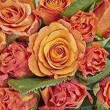 Oranje rozenclose-up Royalty-vrije Stock Afbeelding