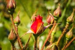 Oranje rozenknop Stock Afbeeldingen