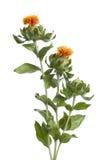 Oranje Saffloer Stock Foto's