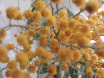 Oranje schitterende mimosa dichte omhooggaand Stock Foto's