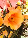 Oranje Schoonheid Royalty-vrije Stock Foto's
