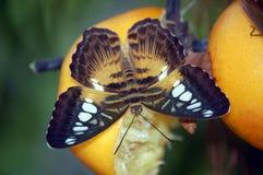 Oranje Schoonheid royalty-vrije stock afbeelding