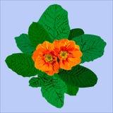 Oranje sleutelbloem Royalty-vrije Stock Afbeelding