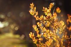Oranje struik Royalty-vrije Stock Foto's