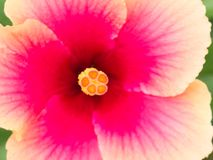 Oranje Stuifmeel van Roze Chinese Rose Flower royalty-vrije stock foto