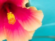 Oranje Stuifmeel van Roze Chinese Rose Flower Blooming stock foto's