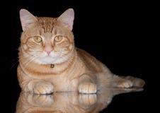 Oranje tabby kat op zwarte Royalty-vrije Stock Afbeeldingen