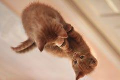 Oranje Tabby Kitten Sitting op een Spiegel Stock Afbeelding