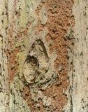Oranje Termietnest op bruine boomschors stock afbeelding