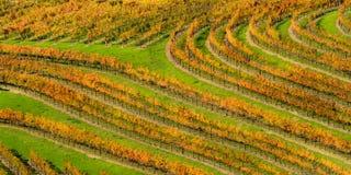 Oranje Thumbprint 1 - de rijen van de de Herfstdruif volgen de contouren van de wijngaard Alexander Valley, Californië, de V.S. stock foto