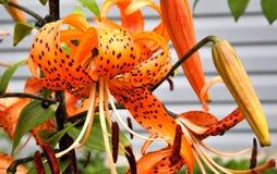 Oranje tijgerlelie met regendruppels Stock Afbeelding