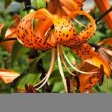 Oranje tijgerlelie met regendruppels Royalty-vrije Stock Fotografie
