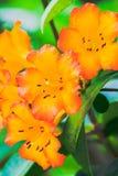 Oranje Trompet Royalty-vrije Stock Fotografie