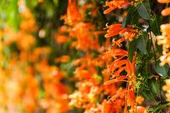Oranje trompet, Vlambloem, Fire-cracker wijnstok Stock Afbeelding