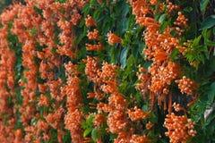 Oranje trompet, Vlambloem, Fire-cracker wijnstok op de muur Stock Afbeeldingen
