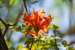 Oranje trompet, Vlambloem, Fire-cracker wijnstokblad Royalty-vrije Stock Fotografie