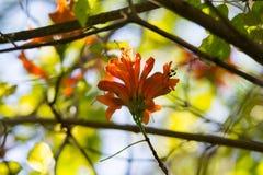 Oranje trompet, Vlambloem, Fire-cracker wijnstokblad Royalty-vrije Stock Foto