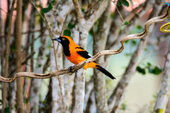 Oranje Troupial die op een tak wordt neergestreken Stock Afbeelding