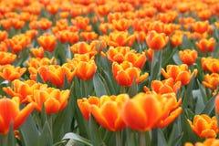 Oranje Tulipa Gesneriana in Tuin Royalty-vrije Stock Fotografie