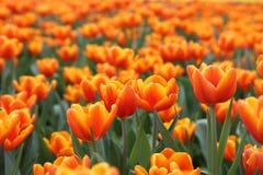 Oranje Tulipa Gesneriana in Tuin Stock Afbeeldingen