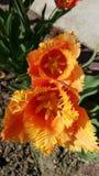 oranje tulp stock afbeelding