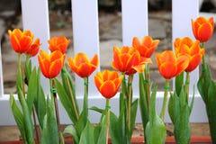 oranje tulp Royalty-vrije Stock Afbeeldingen