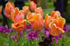 Oranje Tulp in de Bloemtuin Royalty-vrije Stock Foto