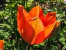 Oranje tulp in de zon Stock Fotografie