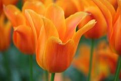 Oranje tulp met oranje achtergrond Stock Afbeeldingen