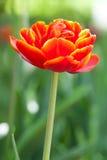 Oranje tulp op vage groene achtergrond de macromening van de de lentebloem Ondiepe diepte van gebied, zachte nadruk Verticale fot Royalty-vrije Stock Foto's