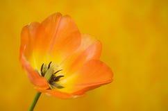 Oranje Tulp tegen Oranje Achtergrond Royalty-vrije Stock Afbeelding