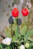 Oranje Tulpen royalty-vrije stock afbeelding