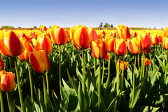 Oranje tulpen Stock Foto