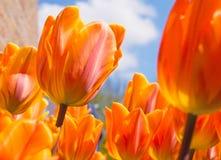 Oranje Tulpen royalty-vrije stock foto