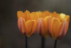 Oranje Tulpen royalty-vrije stock fotografie