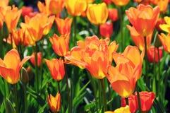 Oranje tulpen in bloembed met aangestoken rug Stock Afbeelding