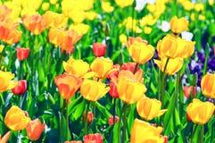 Oranje tulpen in bloembed met aangestoken rug Royalty-vrije Stock Afbeeldingen