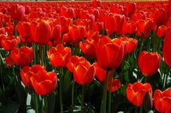 Oranje tulpen in de lente Stock Foto's